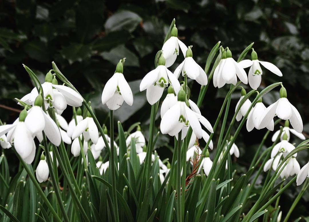Snowdrops In London Chelsea Physic Garden S Display Is Blooming