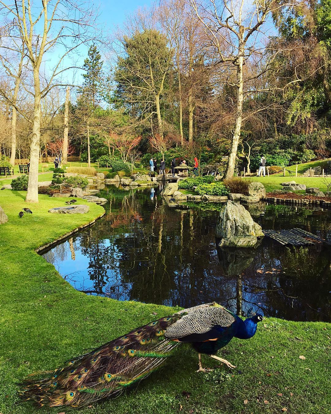 winter-peacock-kyoto-garden
