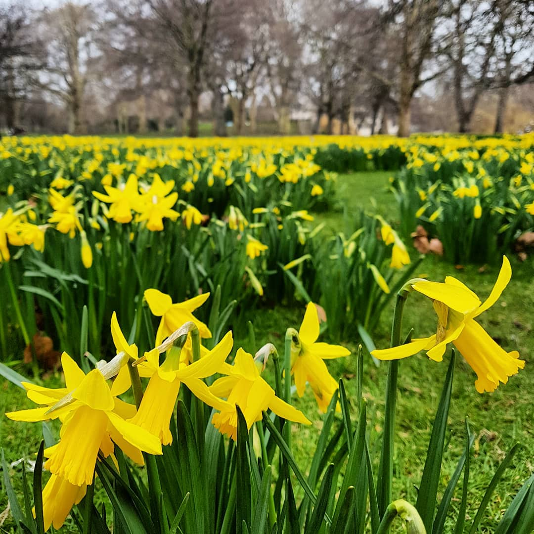 Flower Guide To London Where To See Daffodils Blossom Wisteria In