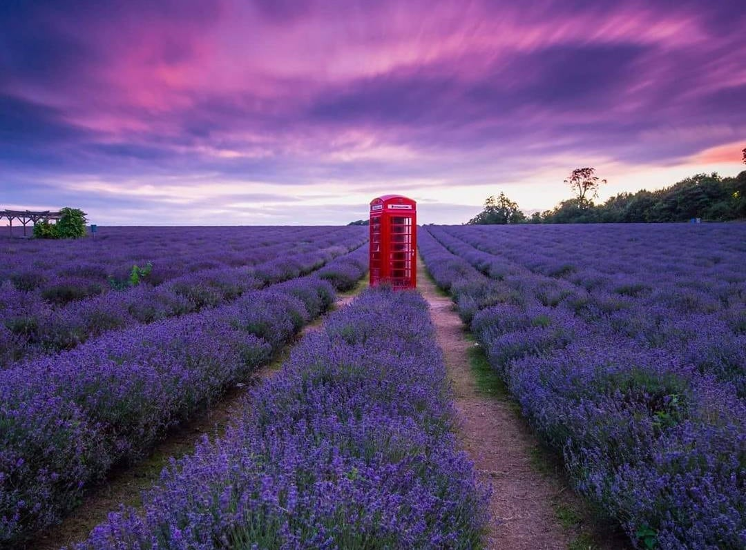 Mayfield Lavender Farm: South London's Perfect Purple Paradise