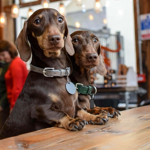 Image of: Puppy Dachshundcafe2 Popsugar Australia Sausage Dog Café Is Coming To London And Well Be Dachshund There Asap