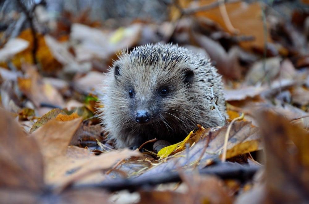 hedgehog-cute