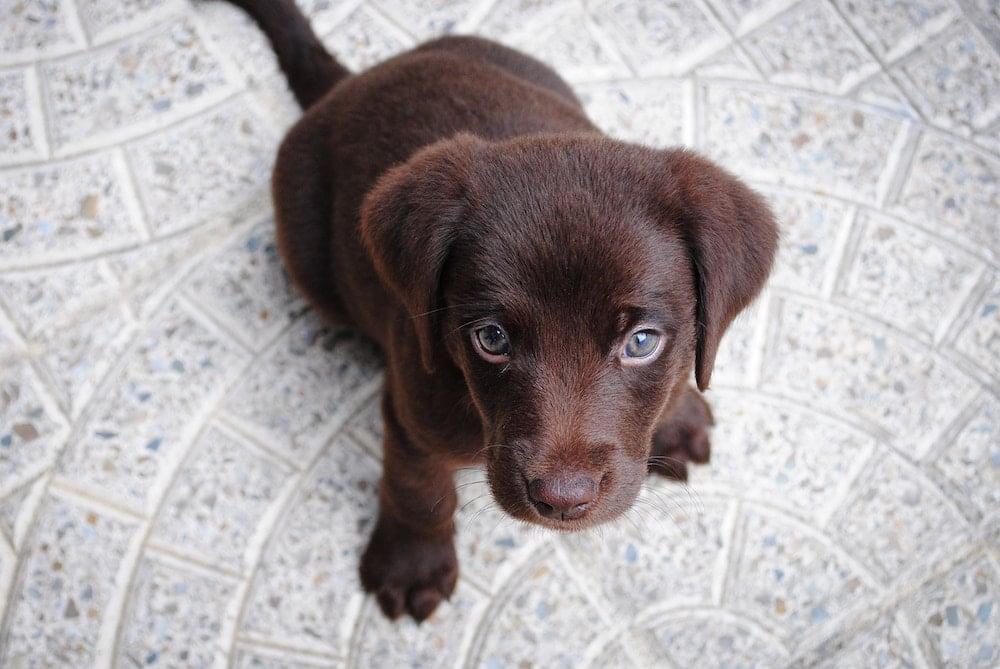 puppy-cuddle-pop-up-labrador