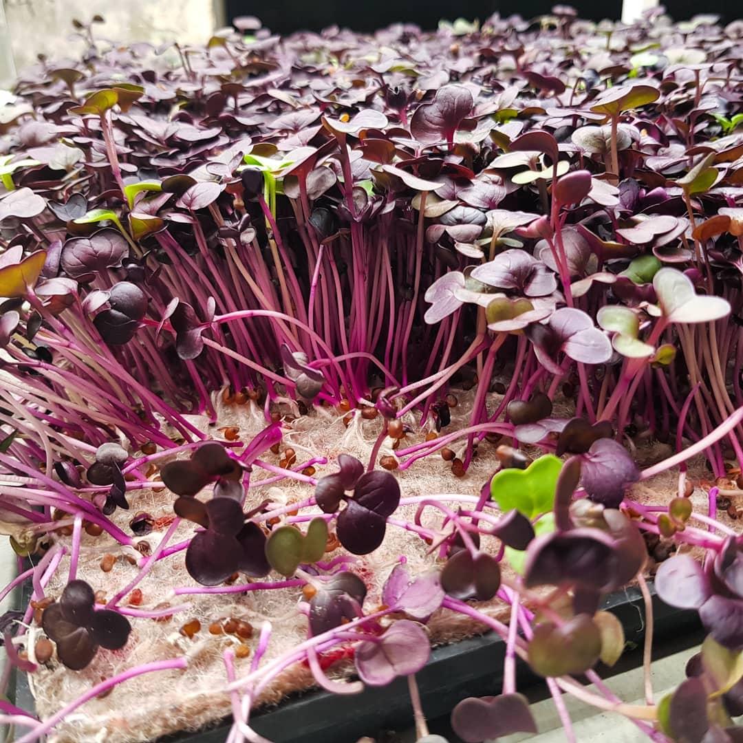 Growing Underground Micro Herbs