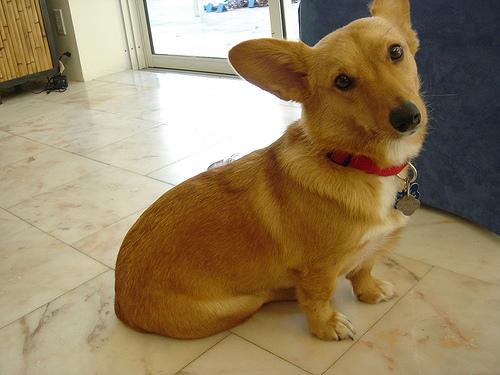 dorgi-queen-dog-cute