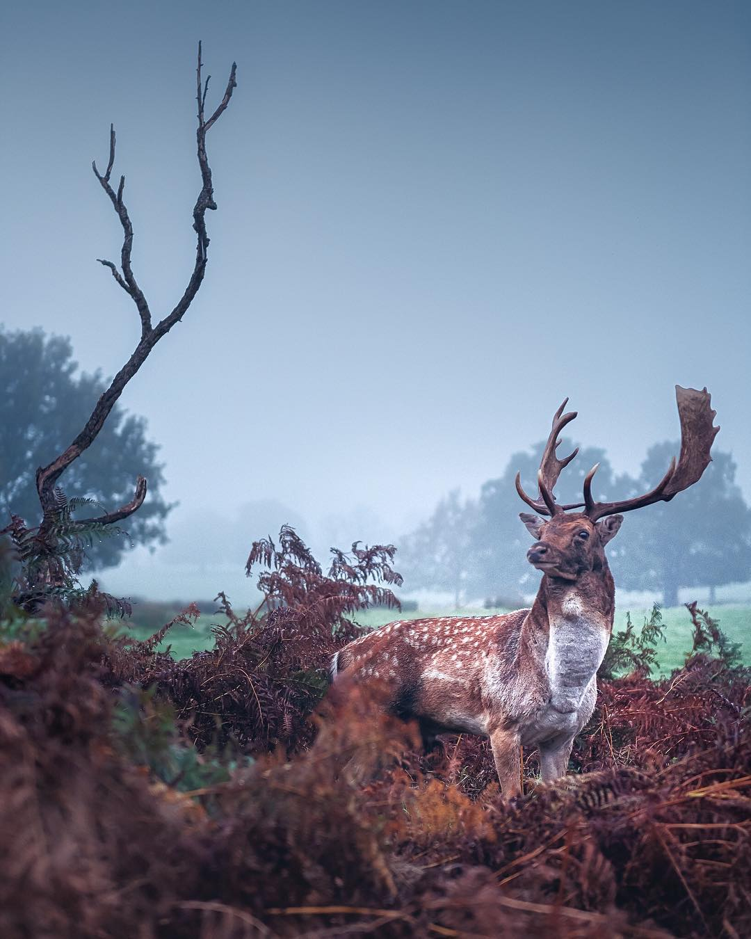 Deer in Richmond Park, London, in the autumn